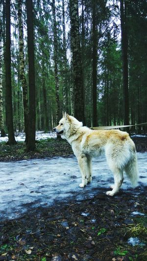 Animal Themes Nature One Animal No People Forest Outdoors Beauty In Nature Animals In The Wild Pets Husky Dog EyeEmNewHere Nature Springtime Spring Walk