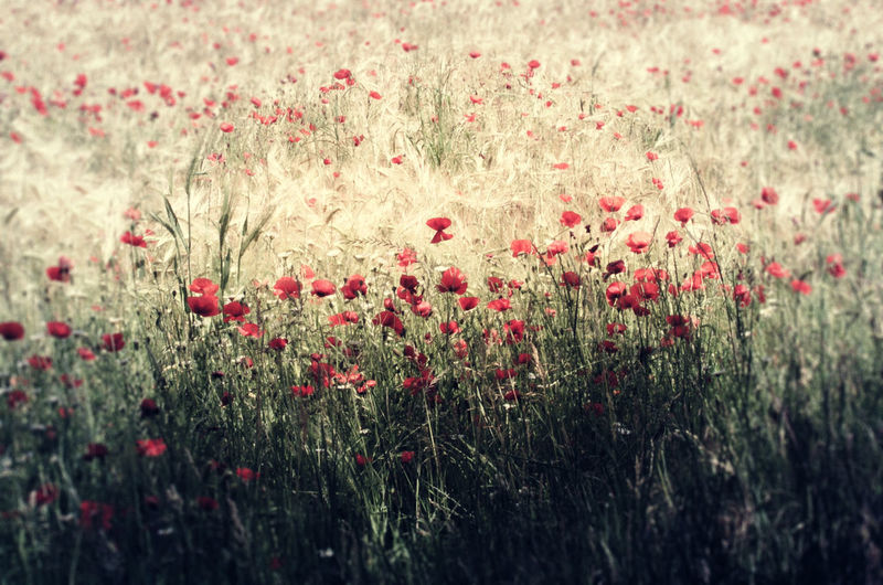 Summer time Beauty In Nature Day Field Live For The Story Nature No People Outdoors Poppies Field Summer Tranquil Scene Outdoors Tranquility Scene