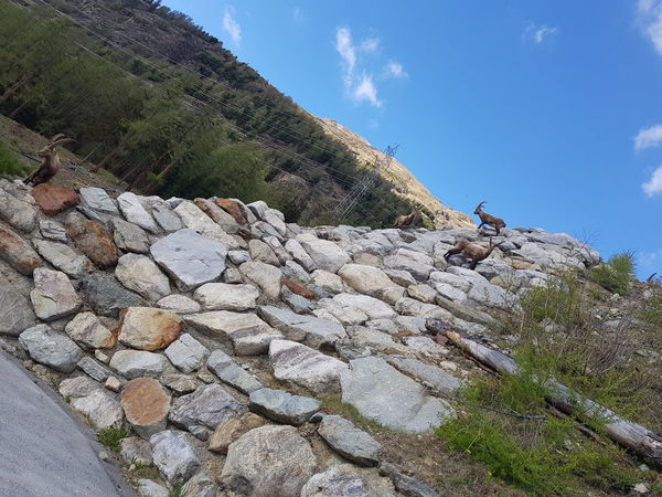 Bock On The Rock Capricorns Swiss Mountains Graubünden Pontresina Nature