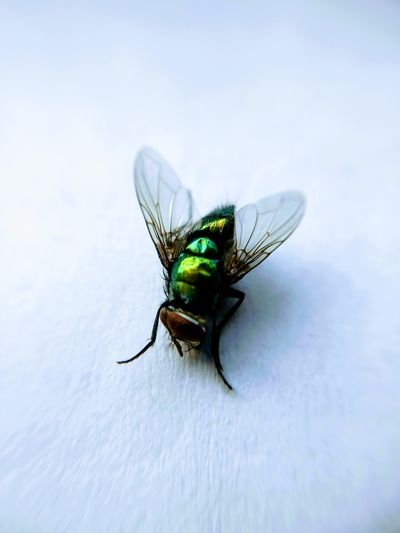 Insect Macro Animals In The Wild Animal Wildlife Animal Themes One Animal Focus On Foreground Close-up No People Nature Day Outdoors Fragility House Fly Housefly Wings