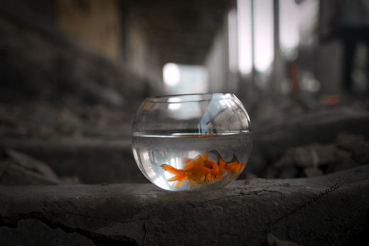 EyeEmNewHere Fishbowl Water Goldfish Fish No People Pets Animal Themes Swimming Close-up Indoors  Night