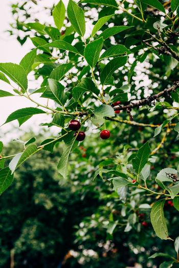 Cherries on a