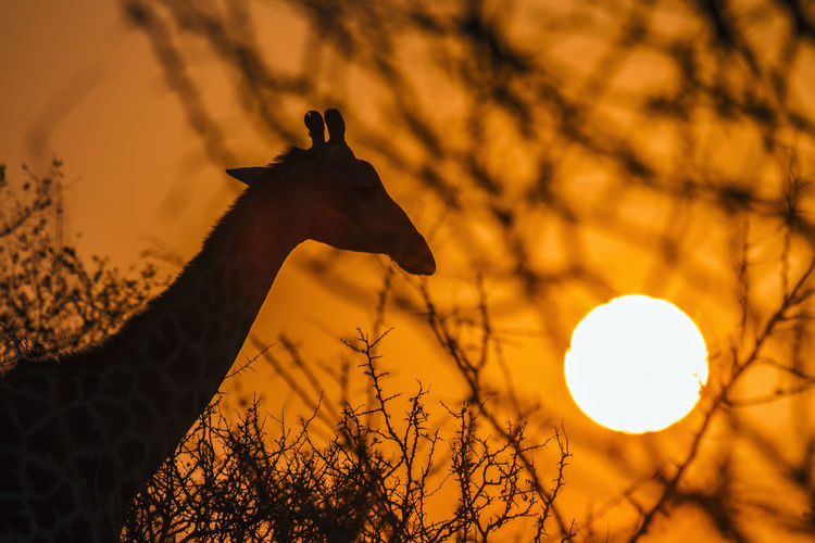 Giraffes standing against sky during sunset