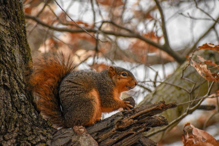 Fox Squirrel in