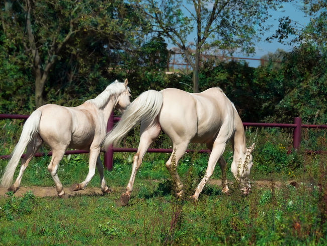 Animal Themes Day Domestic Animals Full Length Grass Horse Landscape Livestock Mammal Nature No People Outdoors Tree