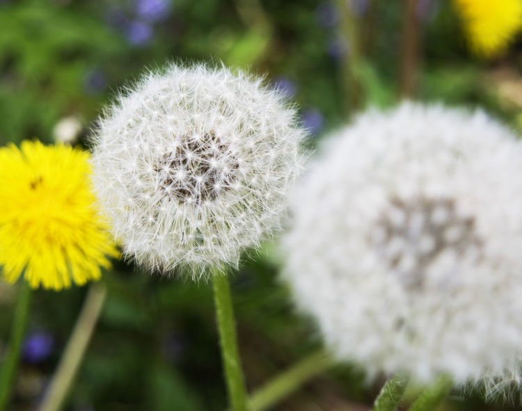 Beauty In Nature Blooming Close-up Dandelion Day Depth Of Field Flower Flower Head Focus On Foreground Fragility Freshness Growth Nature No People Outdoors Petal Plant Seed Head Seeds Selective Focus Short Focu