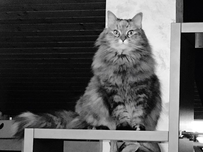 Pensieri...di gatta! Domestic Animals Pets Mammal Animal Themes Feline One Animal Looking At Camera Whisker Portrait No People Indoors  Day Persian Cat  Siberian Kitty Siberiancat Expressions Pet Portraits Black And White Friday