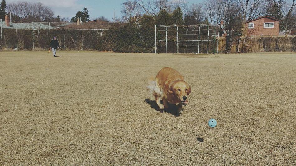 Throwback - Spring Ball Runs Goldenretriever Dogs Run Fetch Pets Spring