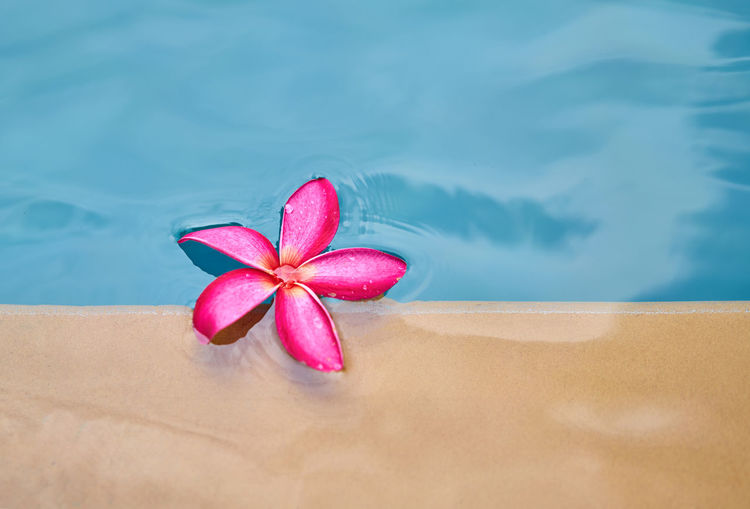 High Angle View Of Pink Frangipani In Swimming Pool