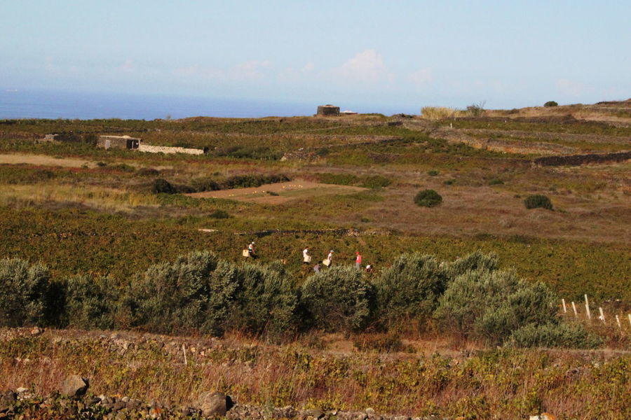 Pantelleria Agriculture Day Farmers Field Grapeyard Harvest Landscape Nature October 2015 Outdoors