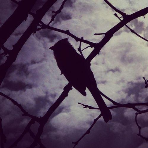 Silhouette Cardinal Igdungeon Birdsofinstagram Rsa_dark Masters_of_darkness Silhouette_saturdays