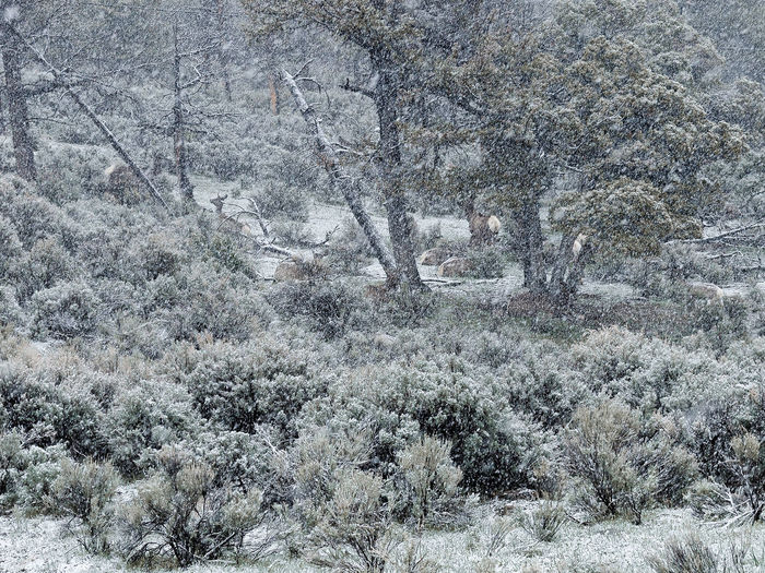 Backgrounds Close-up Cold Temperature Day Elevated View Elk Full Frame Ground Growth Hiking Nature No People Outdoors Snow Tranquility Trees White Wildlife Wyoming Yellowstone National Park
