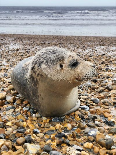 Beached seal on Eastbourne beach following storm Gareth Beach Land Sea Solid Rock Animal Wildlife Nature Animal One Animal Pebble Animals In The Wild No People Animal Themes Seal - Animal Marine Beached Seal Shingle Rescue