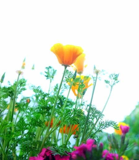 High Key Flower Nature Plant Uncultivated Flower Head Fragility Beauty In Nature Wildflower Freshness Yellow Poppy Just Flowers Holywood County Down Northern Ireland