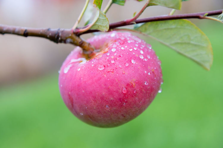 Close-up of apple growing on plant Rain RainDrop Raindrops Red Apple - Fruit Branch Close-up Day Focus On Foreground Food Food And Drink Freshness Fruit Green Color Growth Healthy Eating Leaf Nature No People Outdoors Plant Plant Part Ripe Tree Wellbeing