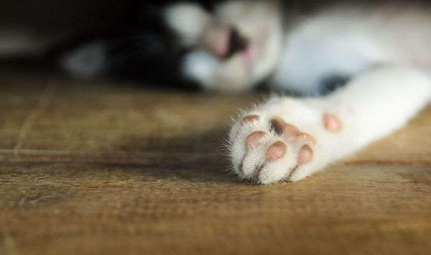 close up foot of baby cat Lovely Animal View One Animal Copy Space Natural Beautiful Baby Cute Leg Close-up Home Pet Pet Foot Low Section Hardwood Floor Close-up Foot Leg Feet Cat