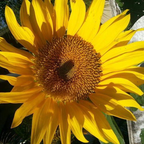 Morning flower #nofilter #flower #girassol Flower Nofilter Girassol