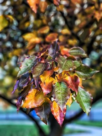 Leaf Day Growth Focus On Foreground Outdoors Close-up Nature No People Autumn Change Tree Fruit Beauty In Nature Branch Freshness Freshness Beauty In Nature Tasmania
