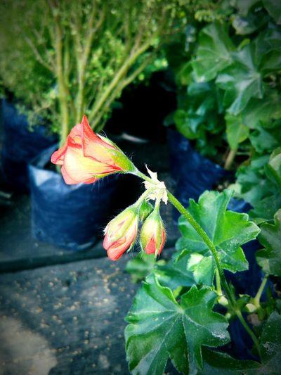Una flor de geranio First Eyeem Photo