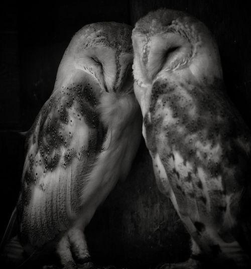Barn Owl Owls