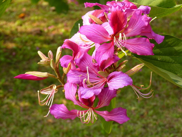 Red-flowered,Camel's-foot, Hong Kong Orchid Tree,bauhinia blakeana,艷紫荊 Camel's-foot Hong Kong Orchid Tree Red-flowered Bauhinia Blakeana Beauty In Nature Blooming Close-up Day Flower Flower Head Fragility Freshness Growth Nature No People Outdoors Petal Pink Color Plant Stamen