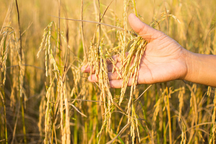 Close-Up Of Hand Touching Wheat