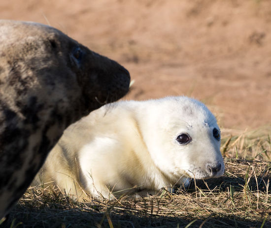 Seal Pups at Dona Nook Animal Themes Animal Wildlife Animals In The Wild Baby Seal Close-up Day Domestic Animals Gray Seal Mammal Nature No People One Animal Outdoors