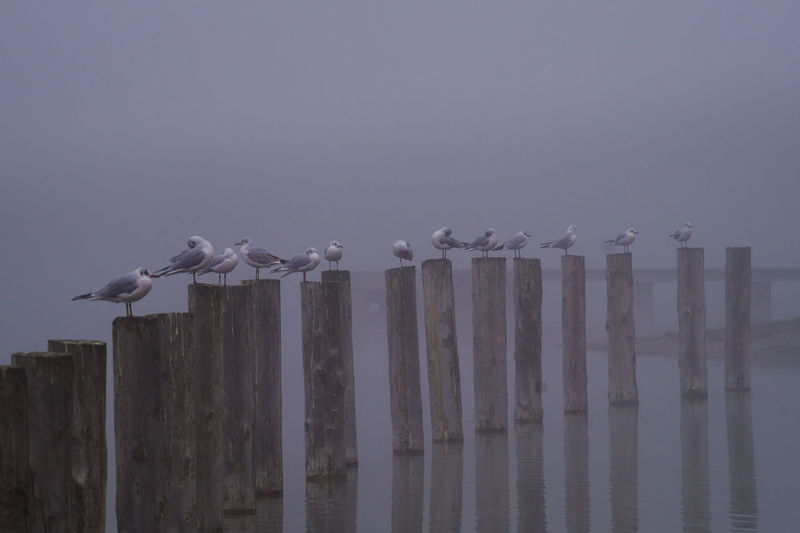 Close-up of perching Seagulls on wooden piles on a misty Morning Animals In The Wild Flock Of Birds Foggy Weather Magical Misty Seagulls Tranquility Animals Beauty In Nature Birds Fog Foggy Foggy Morning Group Lake Nature Peaceful Perching Pile Reflections Scenics Sea Seated Water Seabirds