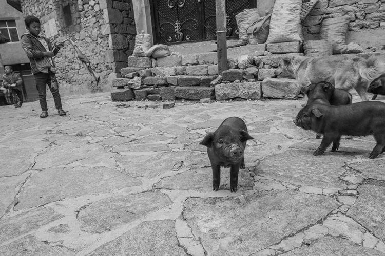 China Yunnan ,China Ziseetheworld Ziwang Outdoors Village Life Pig Village Kid