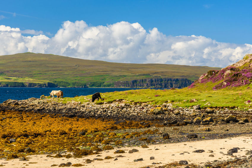 Coral Beach, Isle Of Skye Scotland Animal Themes Beauty In Nature Cloud - Sky Day Domestic Animals Field Grass Landscape Livestock Mammal Mountain Nature No People Outdoors Scenics Sky Water