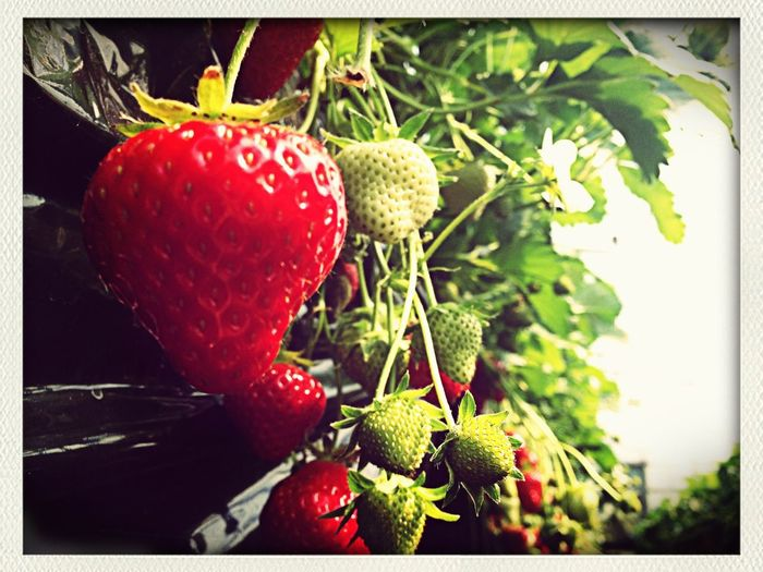 HelloEyeEm Strawberry Taking Photos Memories
