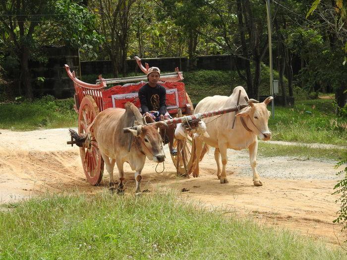 Man sitting on ox cart