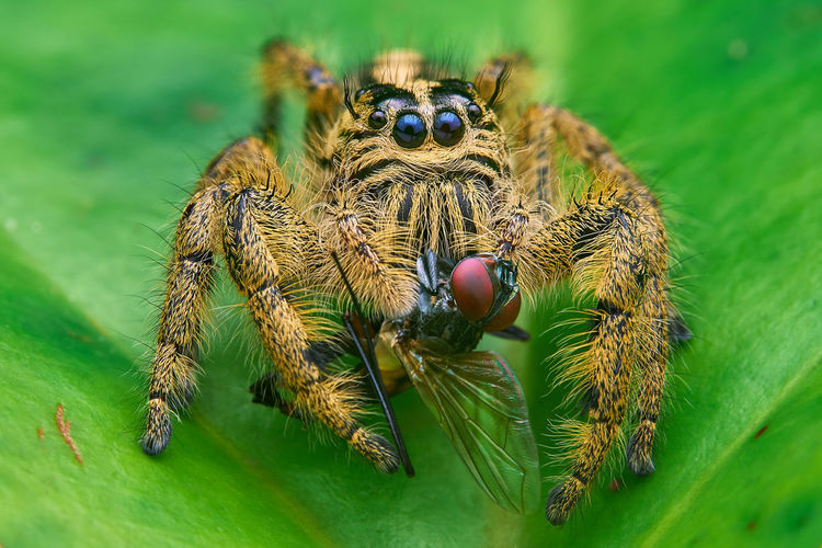 Spider with prey Macro Photography Nature Spider Cfkam Jumping Spider Prey