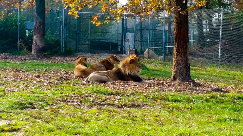 A day in the Safari Park Lion Lioness Lions Safari Safari Park Safari Animals Safaripark Safari Animal Alpha Male Nature Animal Themes Animals In The Wild Animals In The Wild Animal Photography Lion - Feline Lion No People Novara