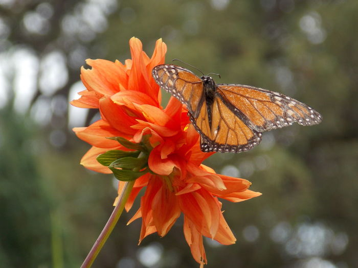 Beautiful Nature Butterfly Collection Butterfly Macro Butterfly On Flower Flower Monarch Butterfly Nature Nature Photography Nature_collection Nature_perfection Wonders Of Nature