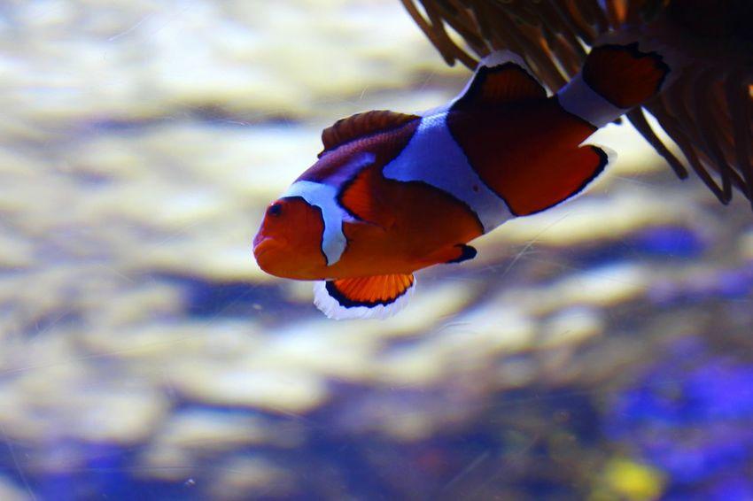 水族館 Aquarium 魚 Fish クマノミ Anemone Fish 熱帯魚 Tropical Fish イソギンチャク Sea Anemone Underwater Orange Orange Color Water Beauty In Nature