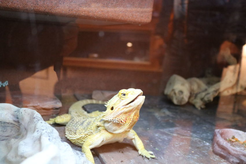 Animal Themes Animal Wildlife Animals In The Wild Bearded Dragon Close-up Day Iguana Indoors  Lizard Nature No People One Animal Reptile