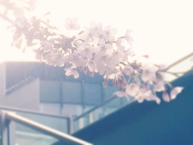 Cherry Blossoms Cherry Blossom Roppongi Tokyo,Japan Spring Flowers Love Skinny Love  ♫ Skinny Love (Birdy)
