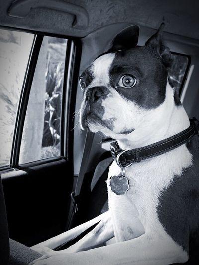 Mojo!❤️ I Love My Boston Terrier I Love My Dog Black & White