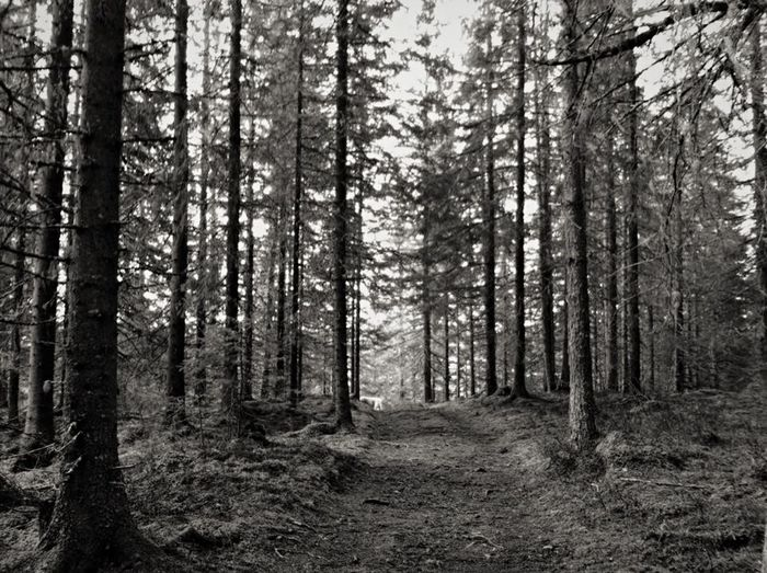 The colourless wood. Blackandwhite Wood Trees Path Norway