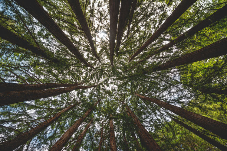 In the forest of the Muir Woods near San Francisco. The Coast Redwood trees are among the oldest and tallest living trees on earth ❤️ Tree Forest Growth Nature Tree Trunk Low Angle View Day WoodLand Full Frame Outdoors Directly Below Muir Woods San Francisco Redwood Trees Wide Angle High Resolution Forestwalk Discover Places Perspective Large Trees From Below Tall - High Travel Destinations Tree Canopy  Reaching For The Sky