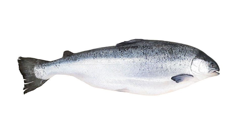 View of fish against white background