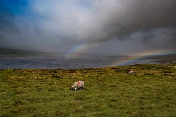 Double rainbow over Cow Green Reservoir Landscape Walking Rainbow Sheep Nikonphotography Nature Photography Teesdale Landscape_photography Clouds And Sky Sky_collection Hiking Skyporn EyeEm Best Shots EyeEmBestPics Eye4photography  Eye4photography  Cloud - Sky Animal Mammal Sky Animal Themes Land Grass Scenics - Nature Water