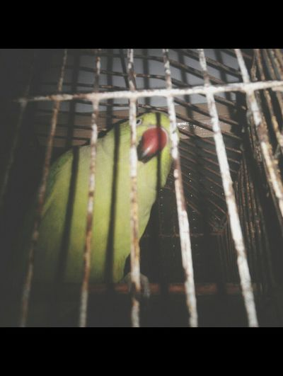 Parrot Angry_bird