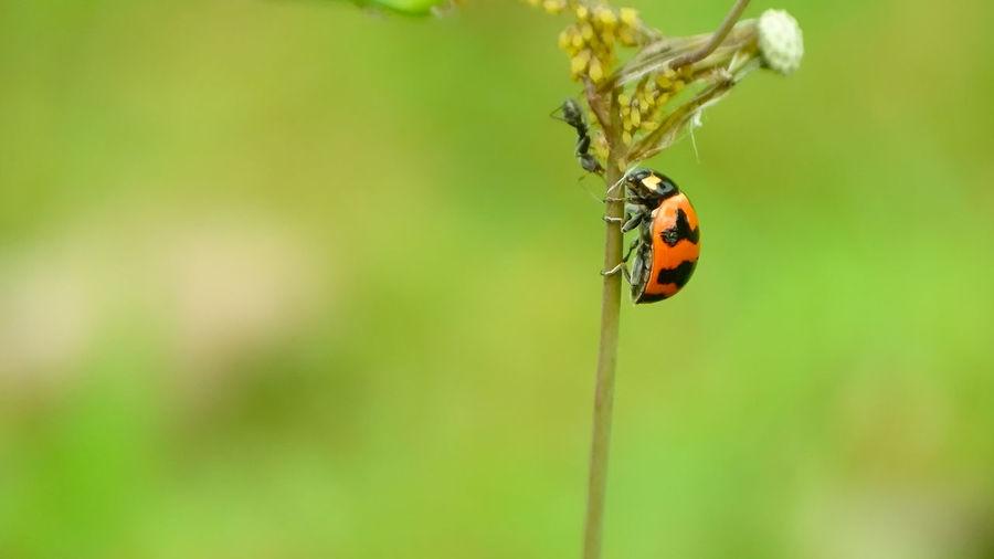 Ladybug Full