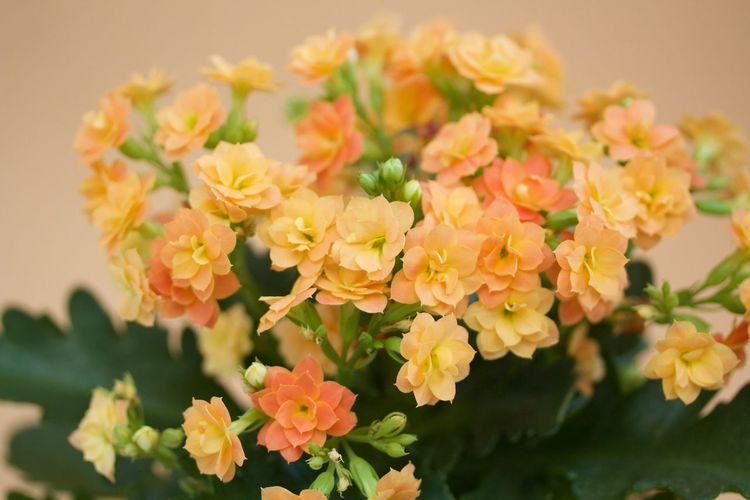 orange kalanchoe on orange background Beauty In Nature Blooming Close-up Day Flower Flower Head Focus On Foreground Fragility Freshness Growth Kalanchoe Nature No People Outdoors Petal Plant