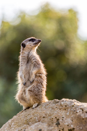Animal Themes Animal Wildlife Animals In The Wild Close-up Day Mammal Meerkat Nature No People One Animal Outdoors Rock - Object