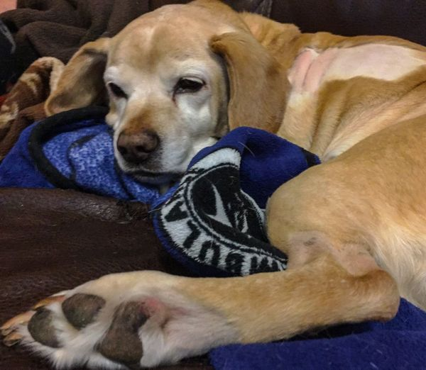 Dog Resting Comfortable Comfort Home Blanket Veterinary Labbe Beagador Labrador Retriever Beagle