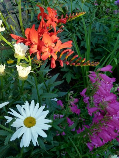 Crocosmia Penstemon Shasta Daisy Flower My Garden English Garden Plants And Flowers