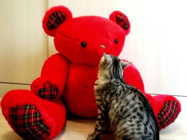 啾咪;熊與貓的親密接觸… Cat 貓 Pet ねこ かわいい Cute Cats Kawai Kuma Kiss Bear